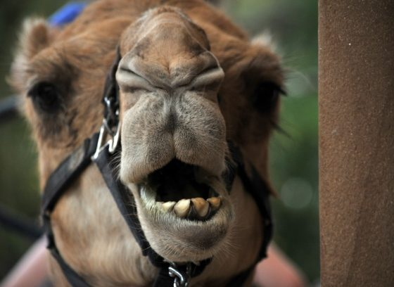 Camel Faced Technique